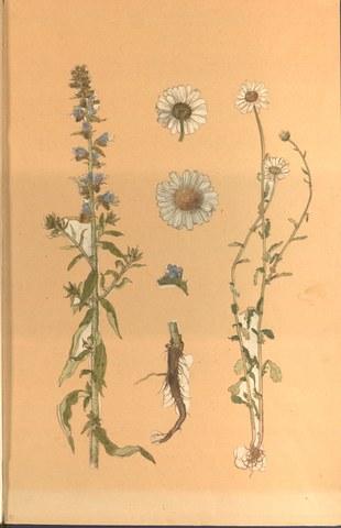 Hans Weiditz: aquarelle botanique. Cote: ES 71 Hans Weiditz II, f.45